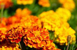 Lutein ist ein gelber Farbstoff, der u.a. aus Tagetes gewonnen wird.